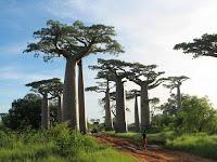 Pohon Tumbuh Seperti Terbalik