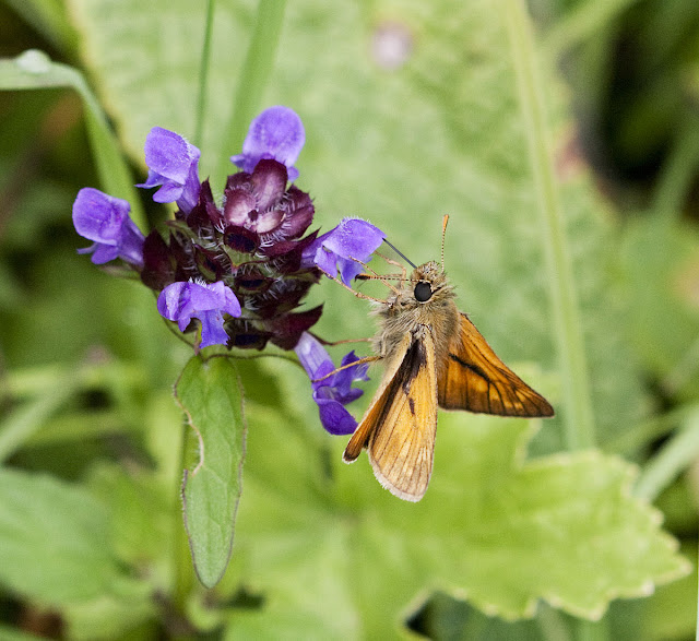 Large skipper, Ochlodes venatus, male, feeding on selfheal, Prunella vulgaris, on Musk Orchid Bank.  Orpington Field Club outing to Orchis Bank, Downe.  25 June 2011.  Taken with EOS 450D and 100mm macro lens.