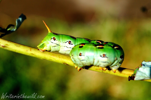 White-lined Sphinx Moth Caterpillar