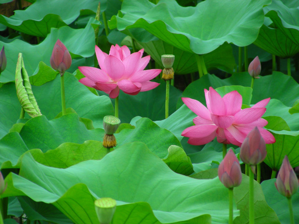 Tea obsession more lotus blossoms i had the pleasure to be there amongst thousands blooming lotus reminded me of a lyric im like a bee bird i wanna fly away p mightylinksfo