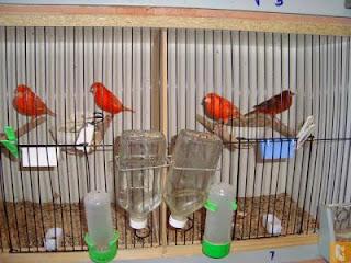 Cara Mudah Beternak Burung Kenari buat Pemula