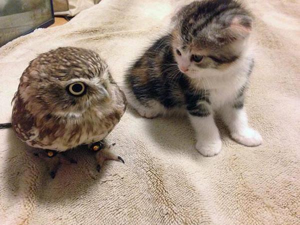 Kecomelan Anak Kucing Dan Anak Burung Hantu