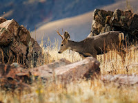 MULE DEER ON ANTELOPE ISLAND
