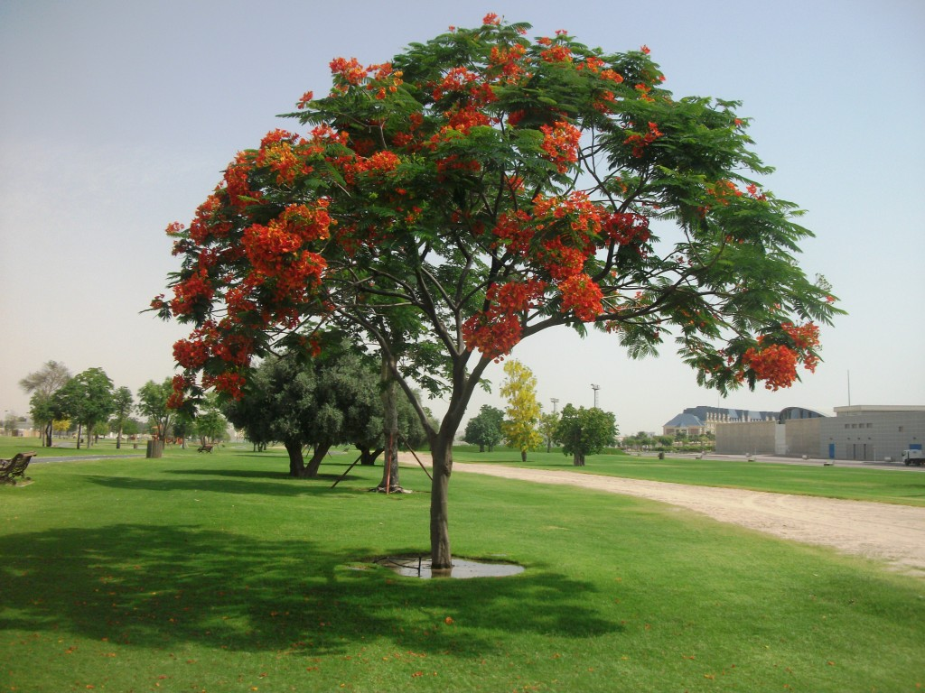 Landscaping Trees Regina : Delonix regia and trees on