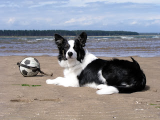 Border Collie Dogs Wallpapers