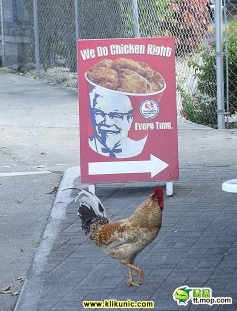 Ayam makan Ayam