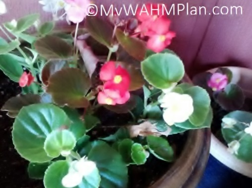 My WAHM Plan: Begonias in pots