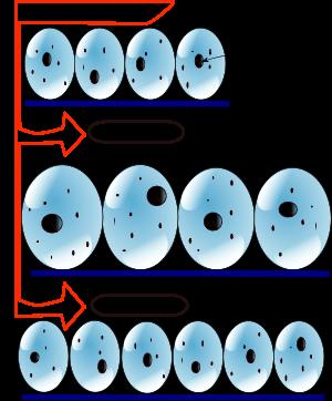 гиперплазия и гипертрофия мышц