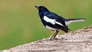 Foto Burung Kacer
