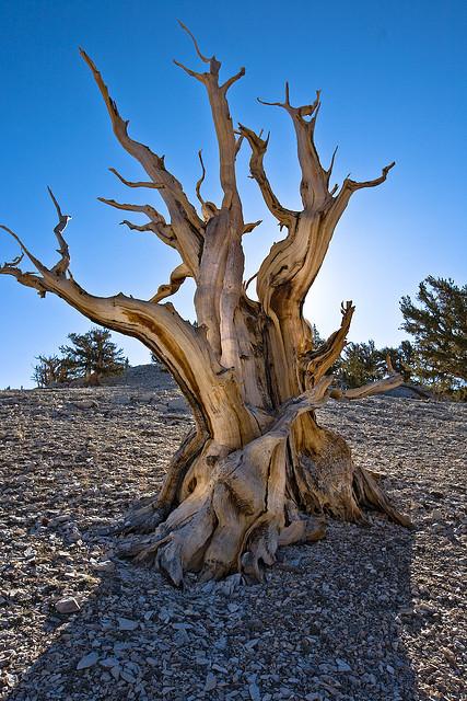 عينات '' لاقدم شجرة'' في العالم بالصور 11_bristlecone