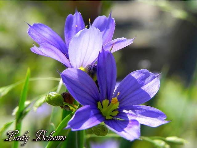hiperica_lady_boheme_blog_di_cucina_ricette_gustose_facili_veloci_fiori_2