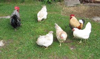 Hedemorahöns, hedemoratupp, Hedemora, höns, ägg, självhushåll