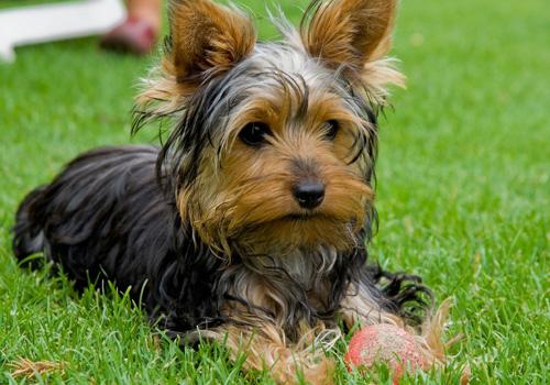 yorkshire terriers são alguns dos cães mais adoráveis que você