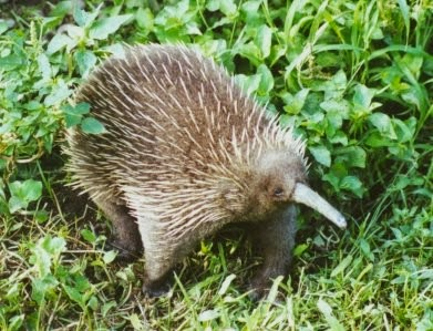 Western long-beaked echidna (Zaglossus bruijnii), one of three mammals with electroreception