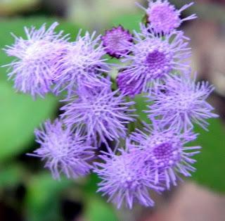 Exotic Purple Ageratum Houstonianum