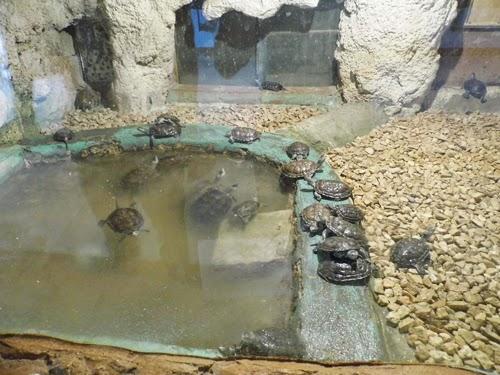 صور ترسة حمراء الاذن بيت الزواحف فى حديقة الحيوان بالاسكندرية