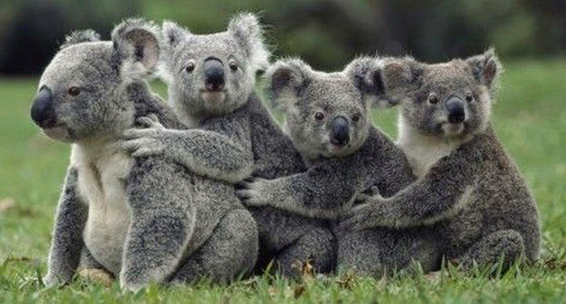 Koalas en la hierba