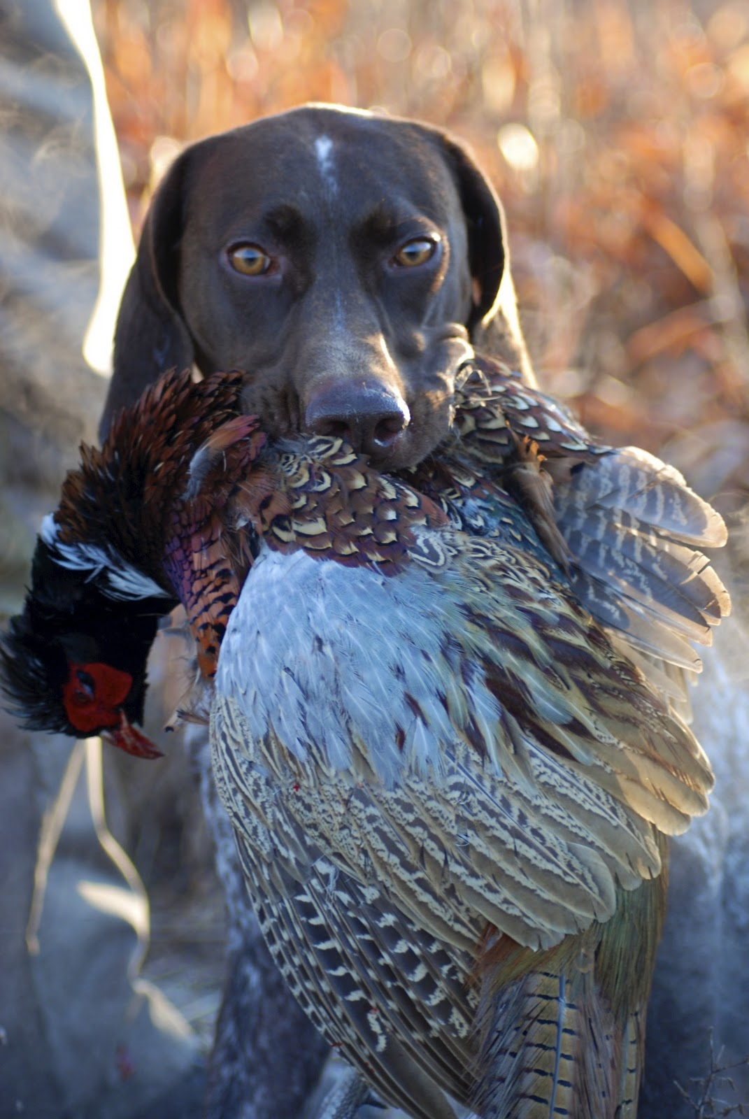 Adventures of a GSP Hunting Dog: Black Friday Pheasant Hunt!