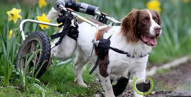 Anjing Pencium Penyakit (Diasease-sniffing Dogs)