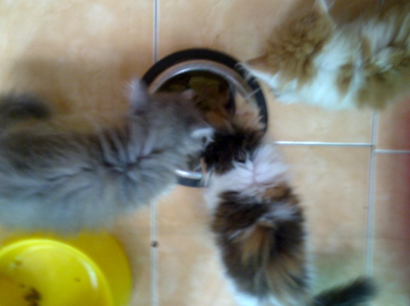 Kucing Persia Surabaya Puding Hati Ayam Untuk Kucing