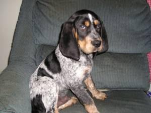 Dog Rescue Foxhound
