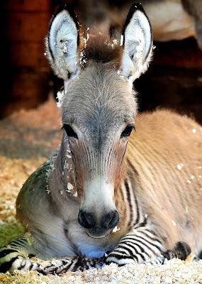 Ippo, a three month old zonkey, a crossing between a zebra and a donkey, in Florence Italy