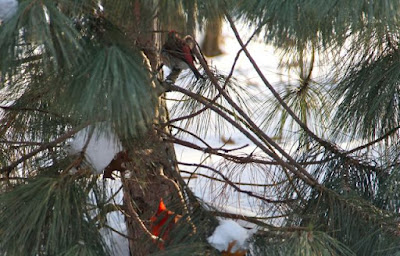 Cardinal and purple finch in pine tree