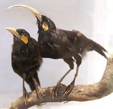 amazing-extinct-animals-resurrected-by-cloning-huia