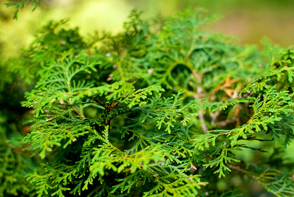close up of green cedar branches