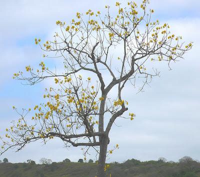poroporo Cochlospermum vitifolium