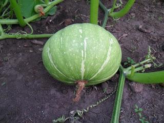 20 июля, плод тыквы быстро набирает вес