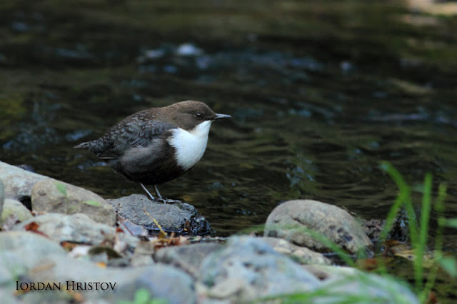 Dipper photography in Bulgaria