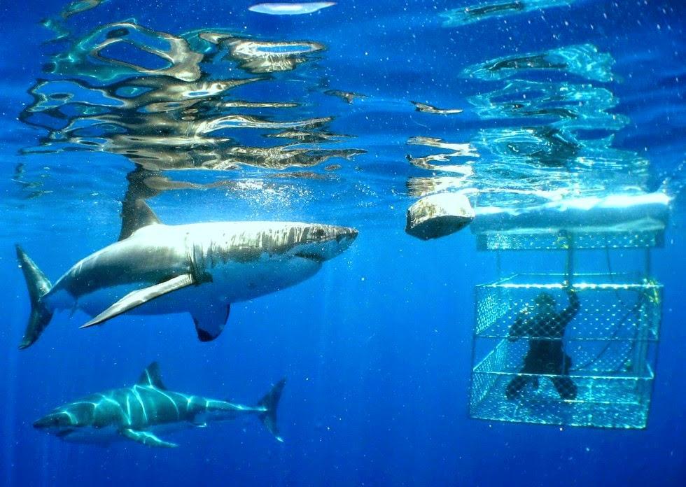 Дайвинг с акулами. Фото