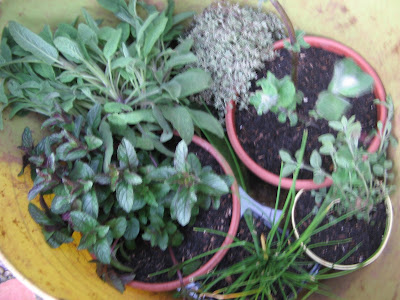 Herb plants; Sage, Thyme, Peppermint, Catmint, Chives, Oregano