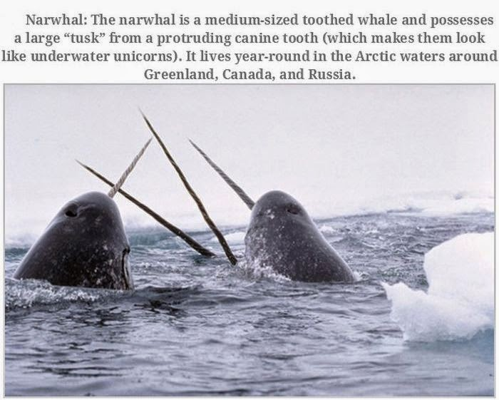 Weird animals (20 pics), strange animal pictures, narwhal