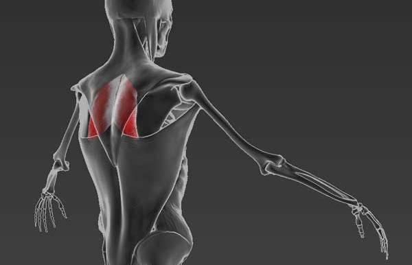Мышца антисутулости: ромбовидная мышца