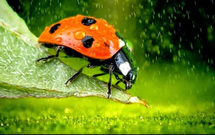 binatang comel berwarna merah berbinti hitam ini merupakan salah satu spesis kumbang. Ianya lebih dikenali sebagai ladybird. Warnanya yang menyerlah menjadikan ianya sangat menarik dipandang mata.