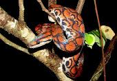 Cobras Estranhas