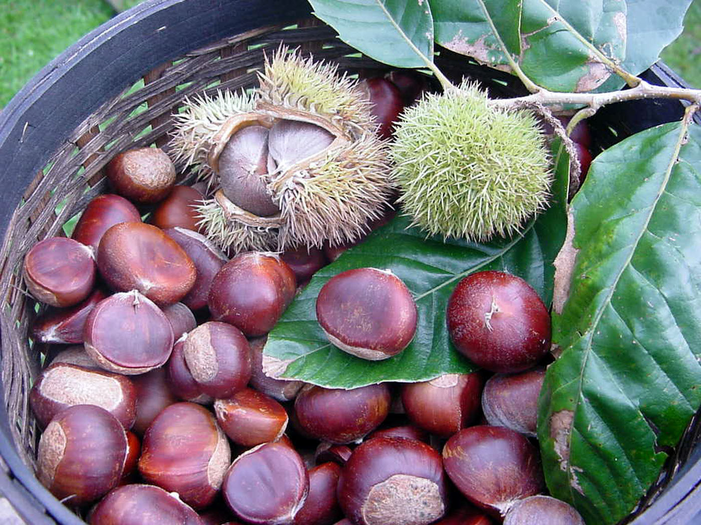Temperate Climate Permaculture: Permaculture Plants: Chestnuts