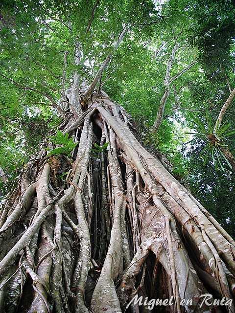 Banyan-Tree-Angkor