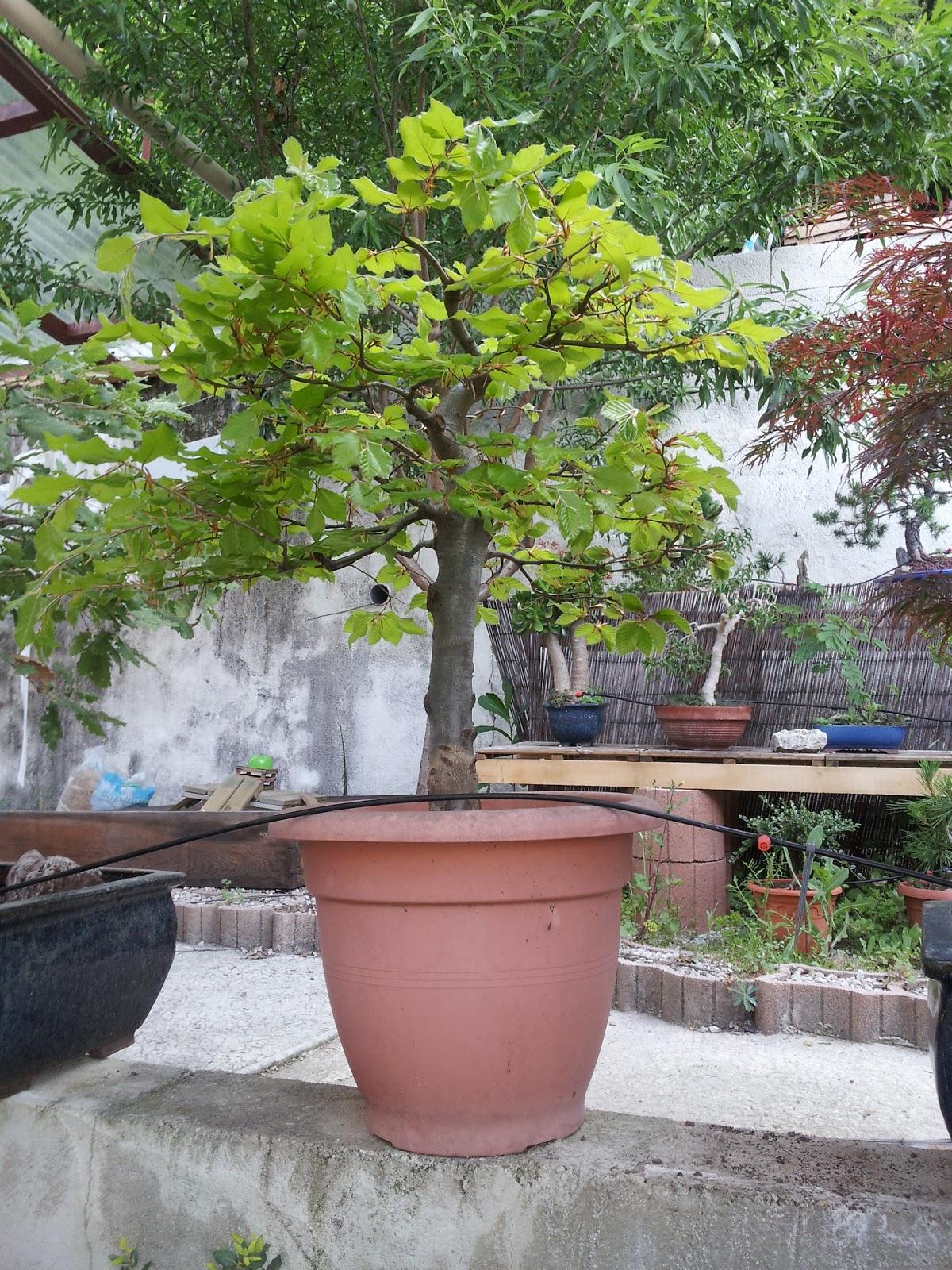 Bonsa inc for S occuper d un citronnier en pot