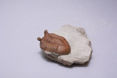ASAPHUS INTERMEDIUS (LESSNIKOVA1953) Genuine Russian Trilobite RARE 69