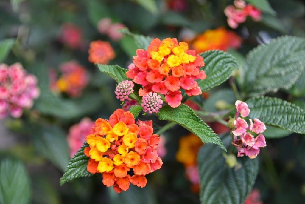 Tunupa Restaurant Ollantaytambo flowers