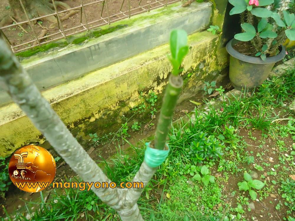 FOTO : Penyambungan Adenium / Kamboja Jepang di tanah langsung
