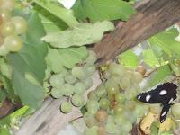 Membuahkan Tanaman Anggur