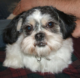Tiny my lickle Shih Tzu (fresh from the groomers! and a bit baldy lol)