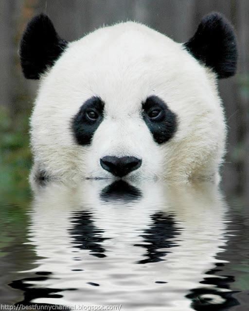 Funny panda.