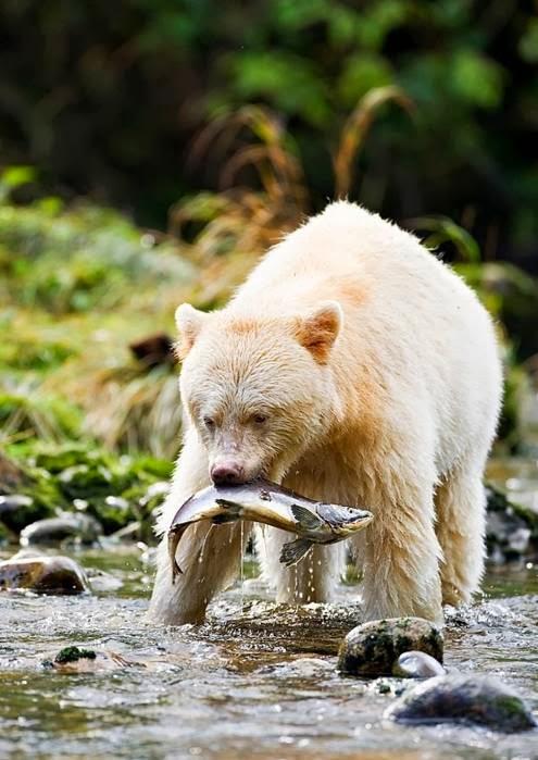 The Kermode Bear: Spirit Bear of British Columbia | The ...