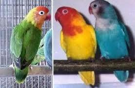 Lovebird dan penyakit snot