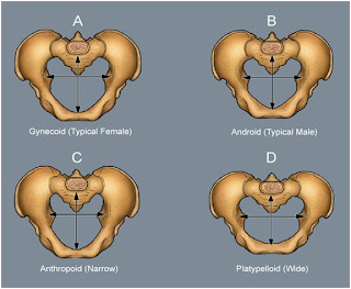 Pelvis In Men and Women Different Size and Shape